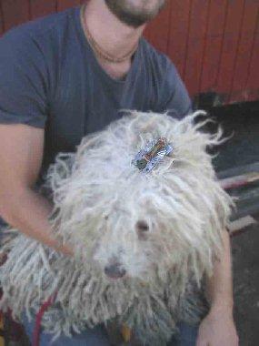Hund med broche